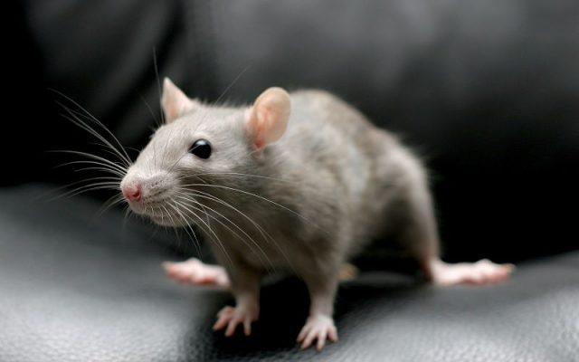 Gambar Nama Hewan Awalan Huruf M Mouse