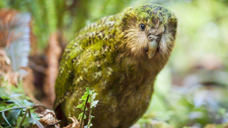 Gambar Nama Hewan Dari Huruf K - Kakapo