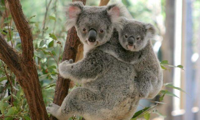Gambar Nama Hewan Dari Huruf K - Koala