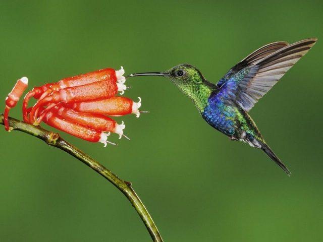 Gambar Nama Hewan Dari Huruf K - Kolibri