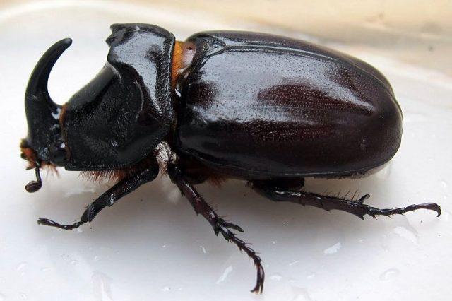 Gambar Nama Hewan Dari Huruf K - Kumbang