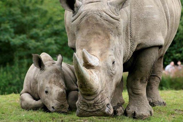 Gambar Nama Nama Hewan Dari Huruf J - Javan Rhinoceros