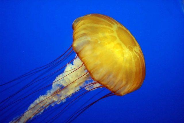 Gambar Nama Nama Hewan Dari Huruf J - Jellyfish