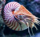 Gambar Nama Hewan Dari Huruf N Nautilus
