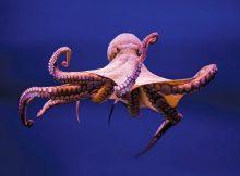 Gambar Octopus Nama Hewan Dari Huruf O