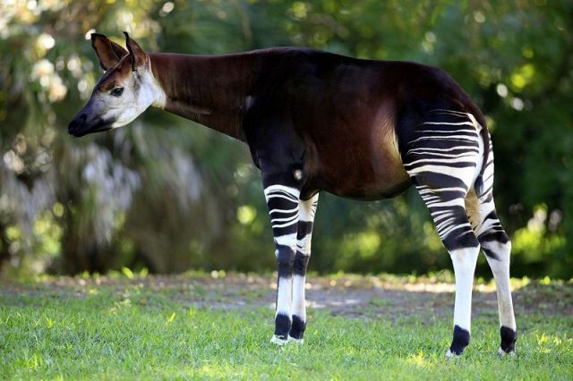 Gambar Okapi Nama Hewan Dari Huruf O