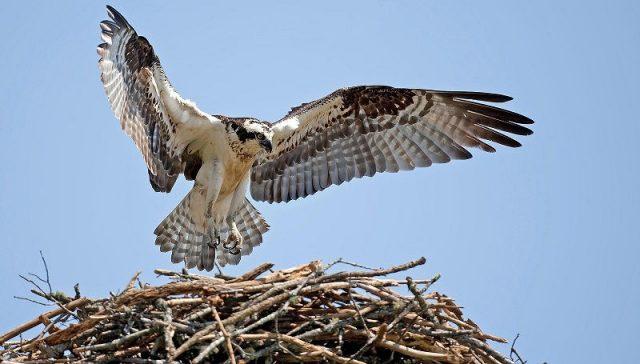 Gambar Osprey Nama Hewan Dari Huruf O