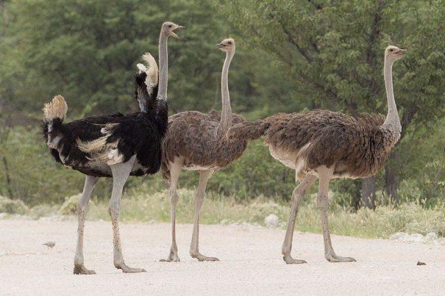 Gambar Ostrich Nama Hewan Dari Huruf O