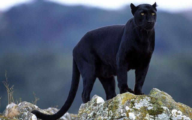 Gambar Nama Hewan Dari Huruf P Panther