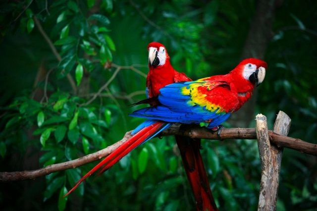 Gambar Nama Hewan Dari Huruf P Parrot