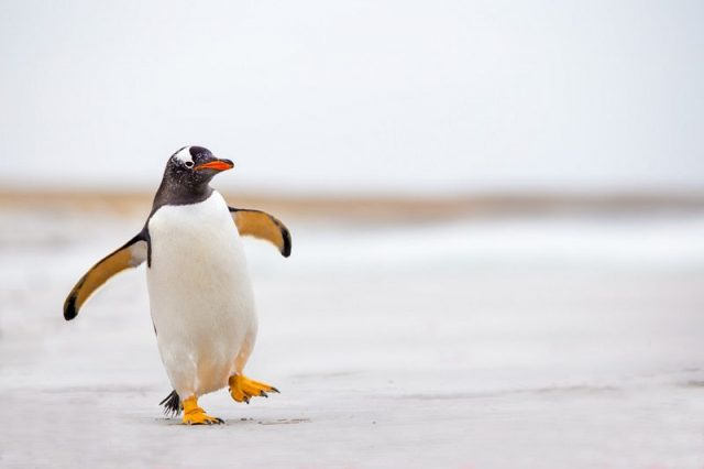Gambar Nama Hewan Dari Huruf P Penguin