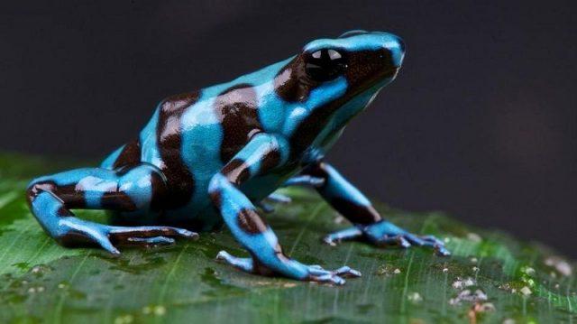 Gambar Nama Hewan Dari Huruf P Poison Dart Frog