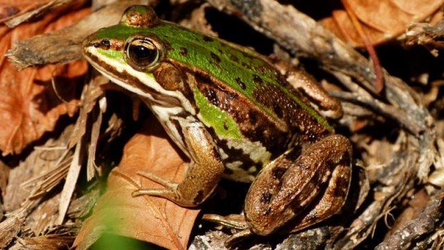 Gambar Nama Hewan Dari Huruf P Pool Frog