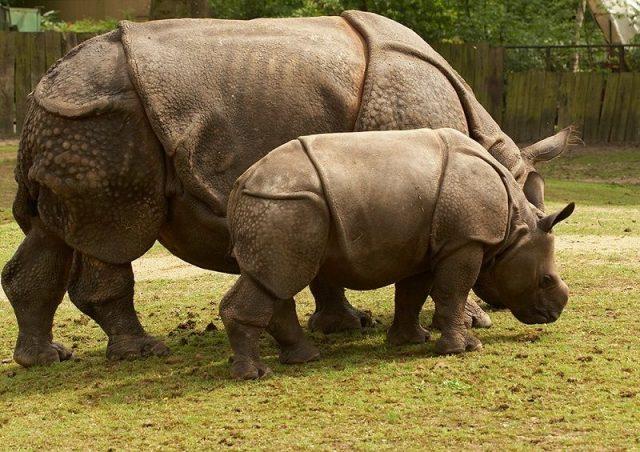 Gambar Badak Jawa ( Rhinoceros sondaicus ) Dan Foto Hewan Langka Di Indonesia Beserta Daerah Asalnya