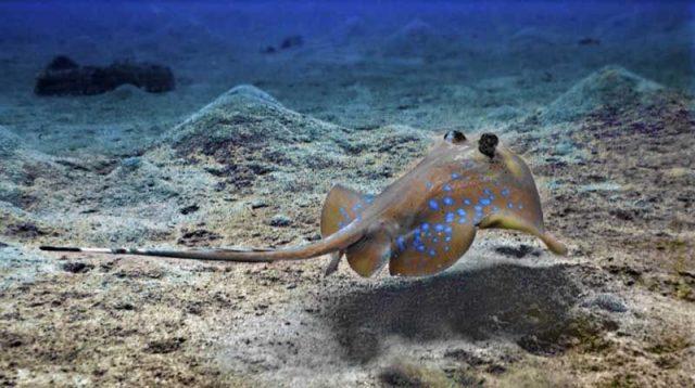Gambar Ikan Pari Blue Spotted Stingray (Dasyatis kuhlii)