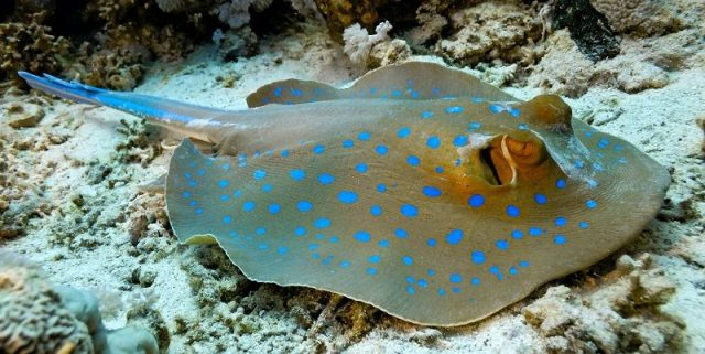 Gambar Ikan Pari Bluespotted Ribbontail Stingray