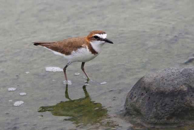 Gambar Burung Cerek jawa ( Charadrius javanicus ) Hewan Langka Di Jawa