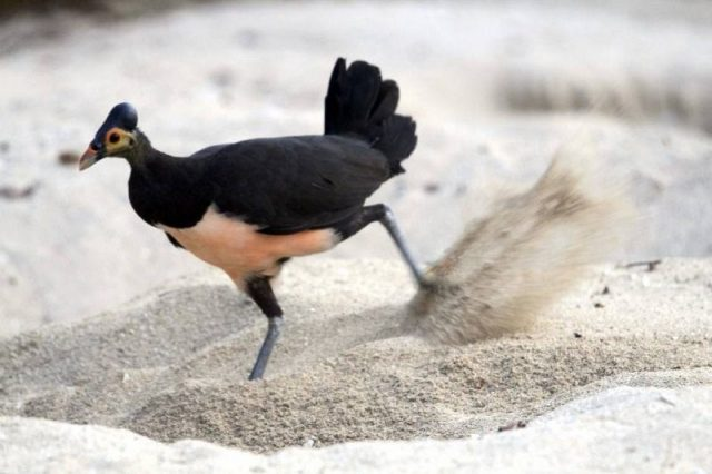 Gambar Burung Maleo Dan Foto Hewan Langka Di Indonesia Beserta Daerah Asalnya
