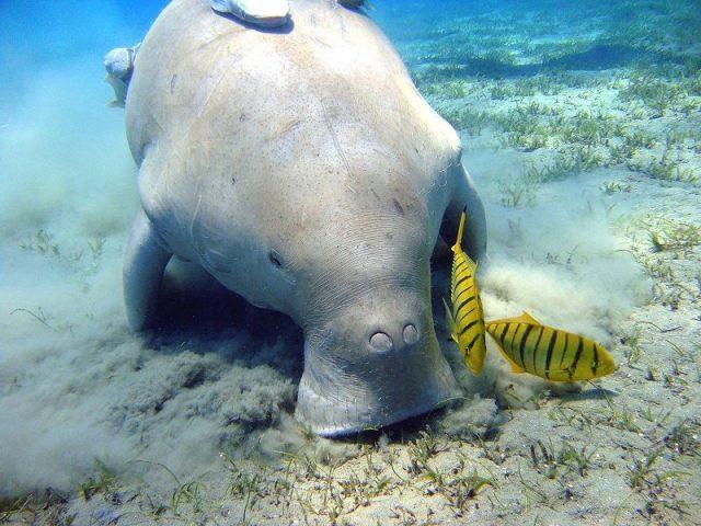 Gambar Dugong ( Dugong dugong ) Dan Foto Hewan Langka Di Indonesia Beserta Daerah Asalnya