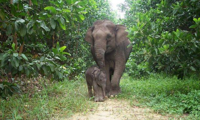Gambar Gajah Sumatera ( Elephas maximus sumatrensis ) Dan Foto Hewan Langka Di Indonesia Beserta Daerah Asalnya