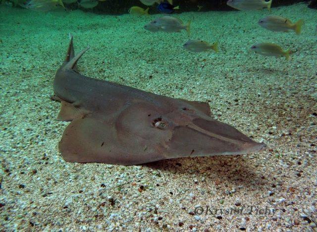 Gambar Ikan Pari Giant Shovelnose Ray (Rhinobatos typus)