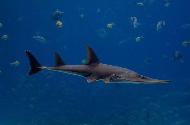 Gambar Ikan Pari Giant guitarfish (Rhynchobatus djiddensis)