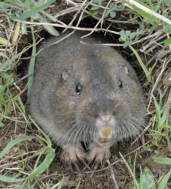 Gambar Gopher Contoh rodentia