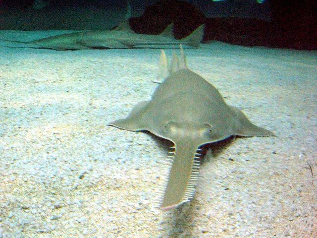 Gambar Hiu Sawfish ( Pristis spp ) Dan Foto Hewan Langka Di Indonesia Beserta Daerah Asalnya