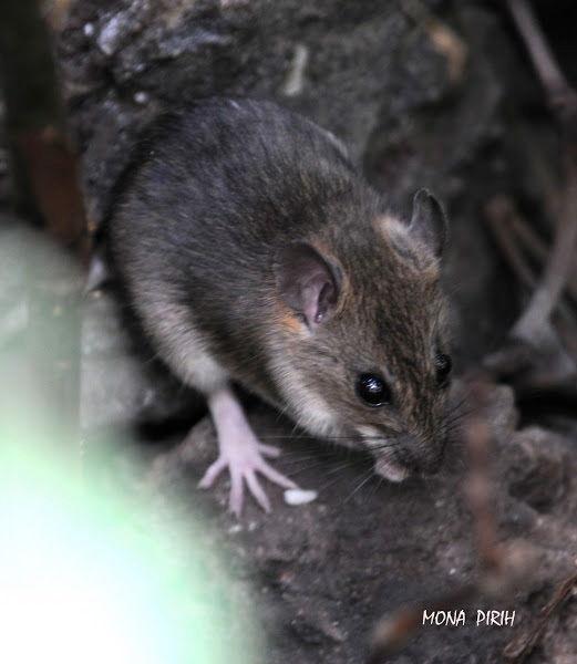 Javan Sundamys atau Bartels's Rat (Sundamys maxi) Hewan Langka Di Jawa