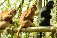Gambar Langur atau Lutung Dan Foto Hewan Langka Di Indonesia Beserta Daerah Asalnya
