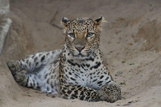 Gambar Macan tutul jawa ( Panthera pardus melas ) Hewan Langka Di Jawa