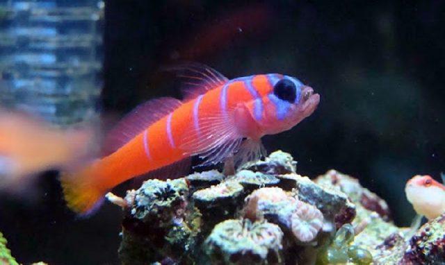 Gambar Ikan Hias Air Laut Catalina goby