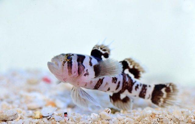 Gambar Ikan Hias Air Laut Black barred convict goby