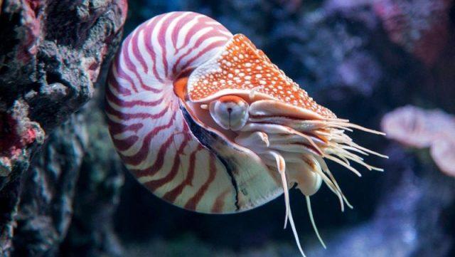 Gambar Nautilus Dan Foto Hewan Langka Di Indonesia Beserta Daerah Asalnya