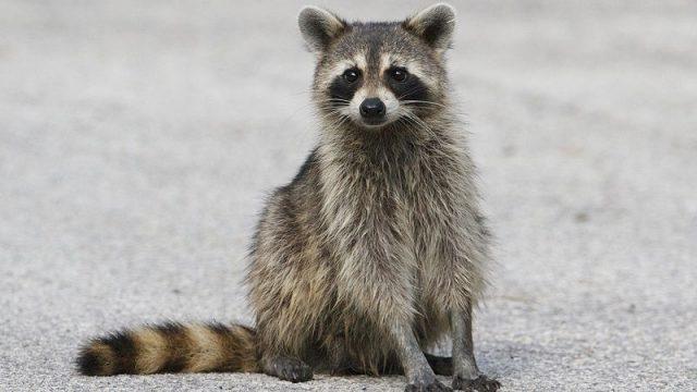 Gambar Raccoon Nama Hewan Dari Huruf R