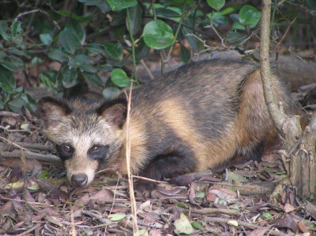 Gambar Raccoon Dog Nama Hewan Dari Huruf R