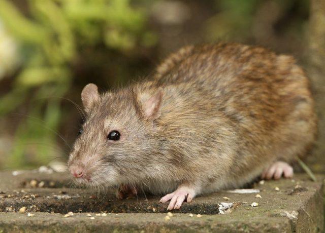 Gambar Rat Nama Hewan Dari Huruf R