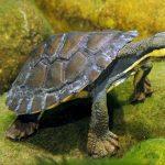 Gambar River Turtle Nama Hewan Dari Huruf R