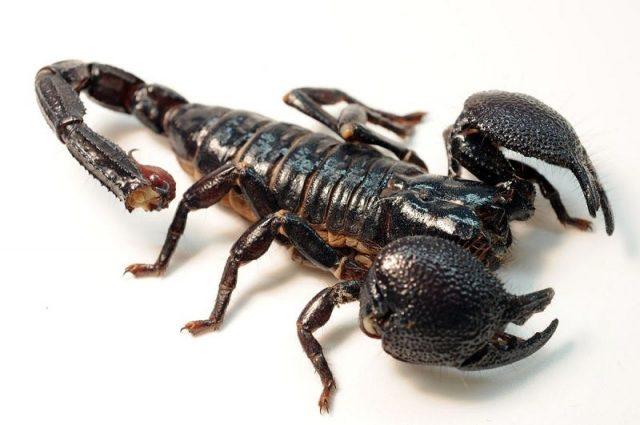 Gambar Scorpion Nama Hewan Dari Huruf S