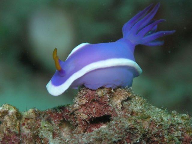 Gambar Sea Slug Nama Hewan Dari Huruf S