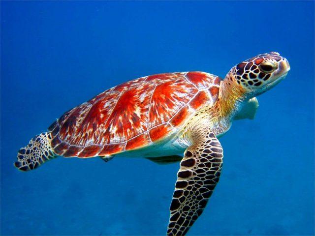 Gambar Sea Turtle Nama Hewan Dari Huruf S