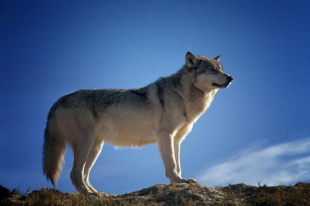 Gambar Serigala Nama Hewan Dari Huruf S