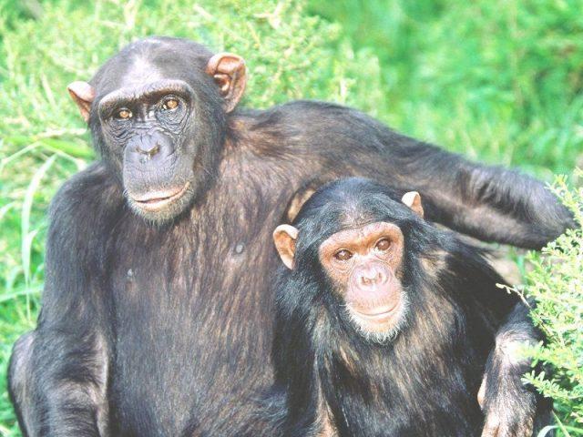 Gambar Simpanse Nama Hewan Dari Huruf S