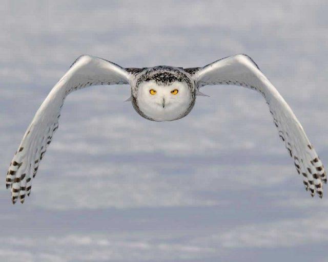 Gambar Snowy Owl Nama Hewan Dari Huruf S