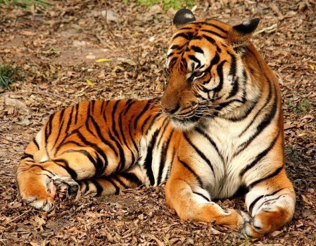 Gambar South China Tiger Nama Hewan Dari Huruf S