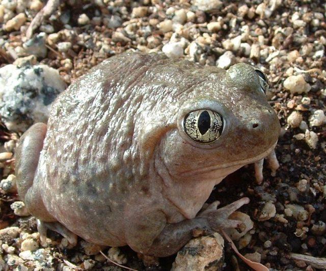 Gambar Spadefoot Toad Nama Hewan Dari Huruf S