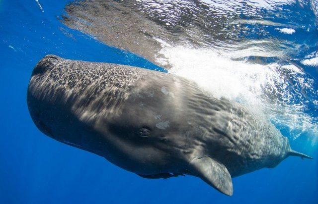 Gambar Sperm Whale Nama Hewan Dari Huruf S