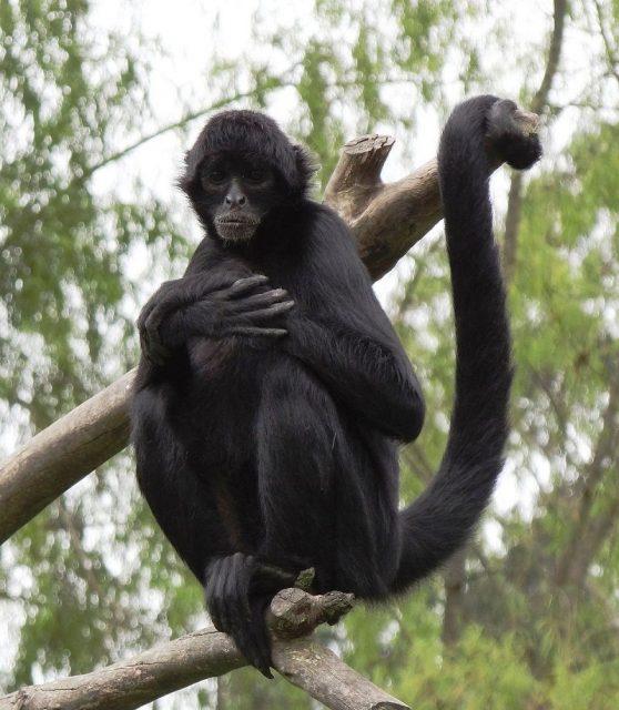 Gambar Spider Monkey Nama Hewan Dari Huruf S