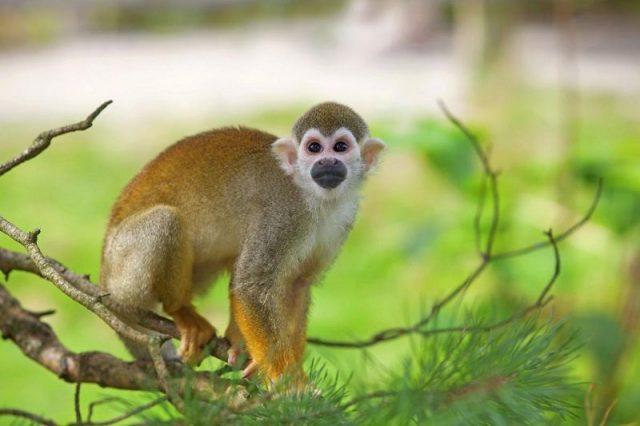 Gambar Squirrel Monkey Nama Hewan Dari Huruf S
