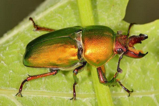 Gambar Stag Beetle Nama Hewan Dari Huruf S